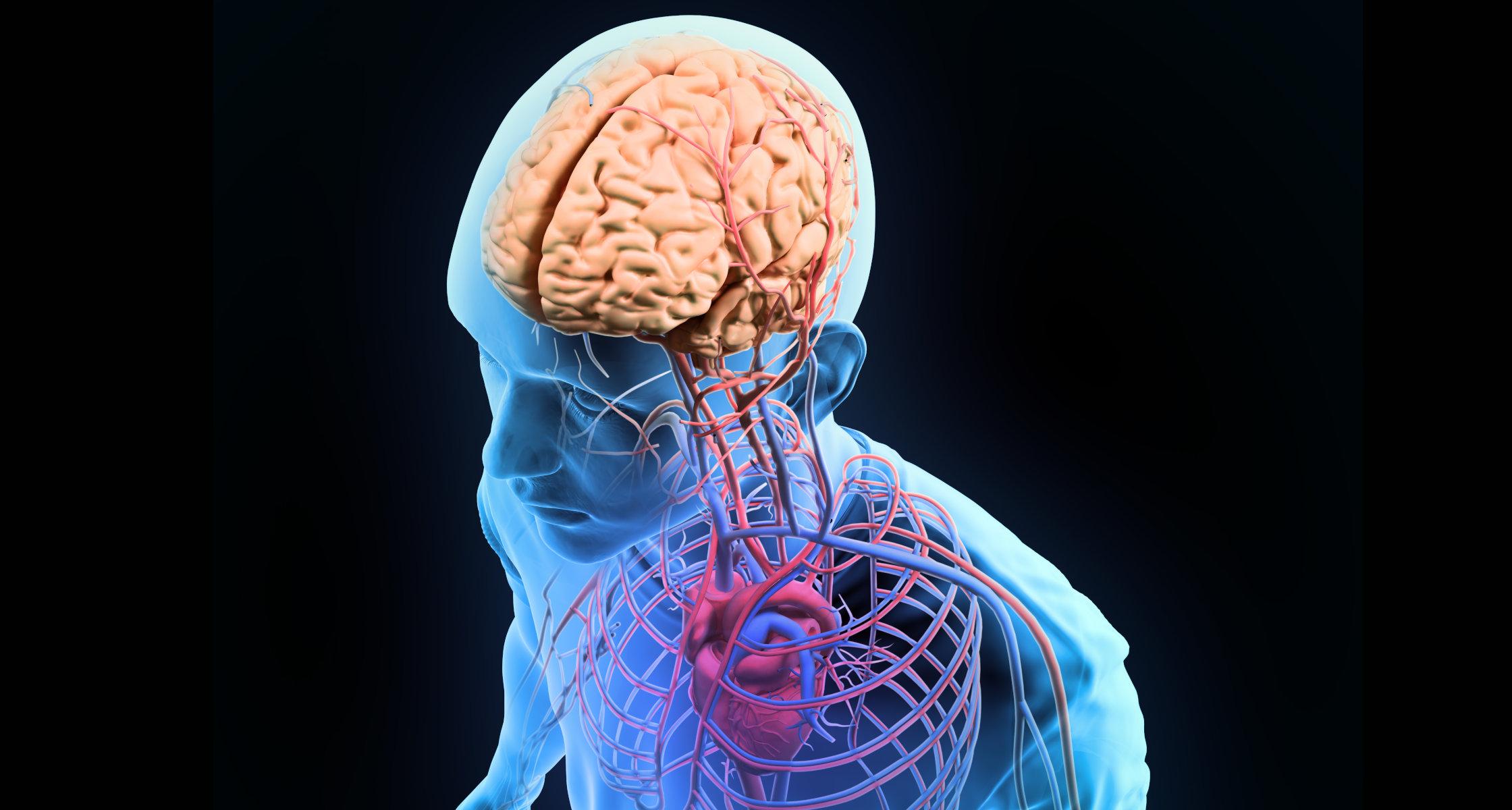 Abwehrzellen Gelangen Ber Tunnel Aus Dem Schdeldach Ins Gehirn